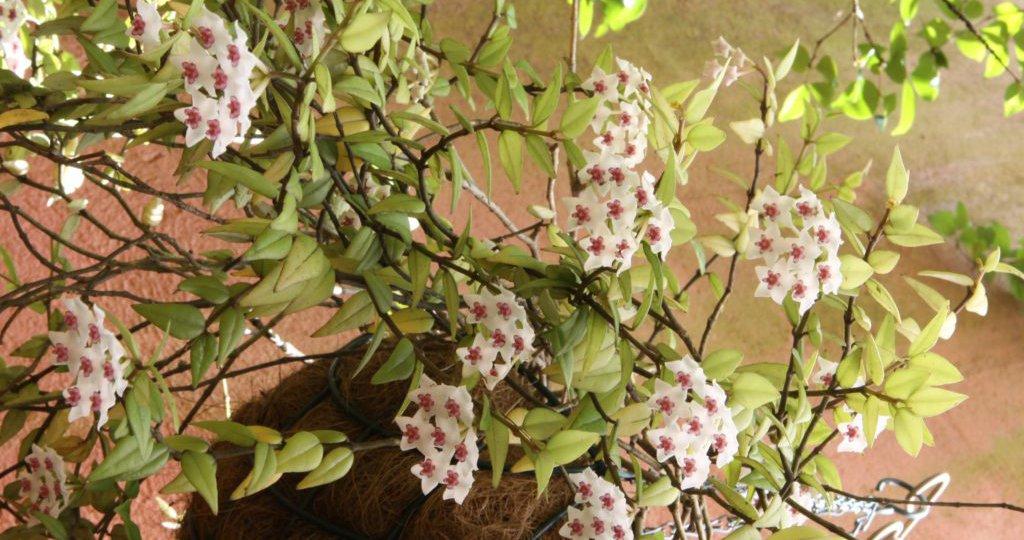 flor-de-cera-5-1024x682.jpg
