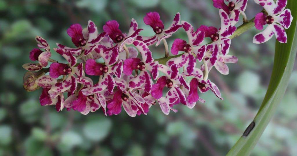 orquídea-rabo-de-raposa-6-1024x682.jpg